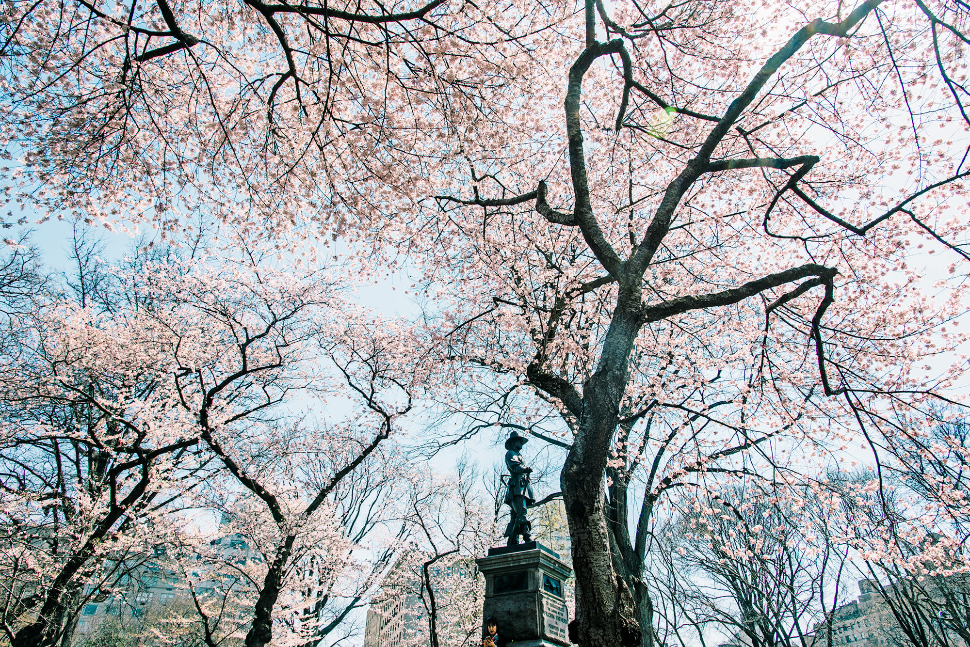 cherry-blossom-trees-central-park-new-york
